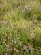 lande humide avec Erica tetralix, Calluna vuglaris et Juncus squarrosus