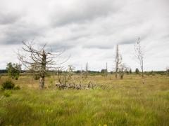 Lande humide dégradée à Molinia caerulea