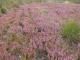 Lande sèche dominée par la callune [copyright Delescaille Louis-Marie]