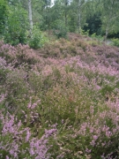 Lande sèche subatlantique dominée par Calluna vulgaris [copyright]