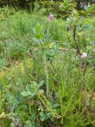 Lande tourbeuse à Vaccinium uliginosum et Erica tetralix