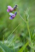 Lathyrus linifolius [copyright Wibail Lionel]