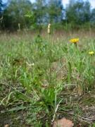 Leontodon autumnalis