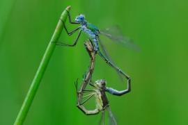Leste dryade (Lestes dryas) Mâle et femelle accouplement. [copyright De Broyer Alain]