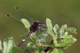 Leucorrhine à gros thorax (Leucorrhinia pectoralis) Mâle [copyright Farinelle Charly]
