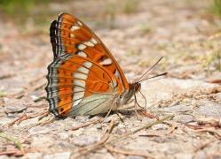 Grand Sylvain (Limenitis populi) [copyright Imbaud Cédric]
