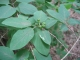 Lonicera xylosteum [copyright Wibail Lionel]