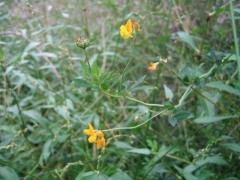 Lotus pedunculatus [copyright]