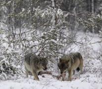 Loup d'un an (gauche), mâle adulte (droite)