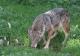 Canis lupus typique de la lignée italo-alpine  [copyright Fichefet Violaine]