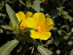 Ludwigia grandiflora_Nicolas_Borel