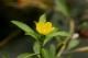Ludwigia peploides fleur [CC by Nagarozoku _]