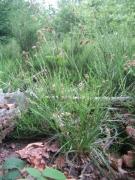 Luzula multiflora_2