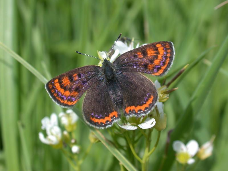 cuivr de la bistorte lycaena helle papillons diurnes insectes la biodiversit en wallonie. Black Bedroom Furniture Sets. Home Design Ideas