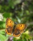 Argus satiné femelle (Lycaena virgaureae) [CC by Dufrêne Marc]