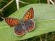 femelle de Cuivré fuligineux (Lycaena tityrus) [copyright Imbaud Cédric]