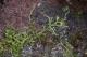 Lycopodiella inundata [copyright]