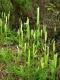 Lycopodium clavatum [copyright]