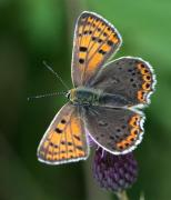 femelle de Cuivré fuligineux (Lycaena tityrus) [copyright Mardulyn Harry]