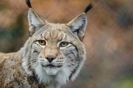 lynx-in-wildlife_CCO