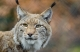 lynx-in-wildlife_CCO