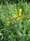 Lysimachia vulgaris [copyright]