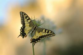 Machaon (Papilio machaon) [copyright Barbier Yvan]