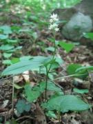 Maianthemum bifolium [copyright Wibail Lionel]