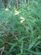 Melampyrum pratense [copyright Wibail Lionel]