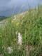 Melica ciliata [copyright Wibail Lionel]