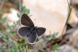 Argus frêle (Cupido minimus) [CC by-sa San Martin Gilles]