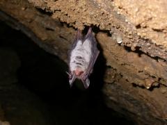 Murin de Bechstein (Myotis bechsteinii) [CC by-sa San Martin Gilles]