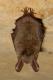 Vespertillon de Bechstein (Myotis bechsteinii) [CC by Gathoye Jean_louis]