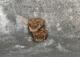 Murin à oreilles échancrées (Myotis emarginatus) [CC by Gathoye Jean_louis]