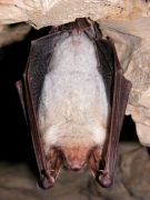 Grand Murin (Myotis myotis) [CC by Gathoye Jean-Louis]