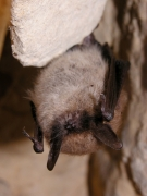 Murin à moustaches (Myotis mystacinus) [CC by Gathoye Jean-Louis]