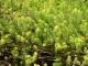 Myriophyllum aquaticum détail herbier [CC by Branquart Etienne]