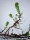 Myriophyllum aquaticum parties immergées et émergées [CC by Branquart Etienne]