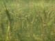Myriophyllum heterophyllum2_AndreasHussner