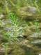 Myriophyllum-heterophyllum_AndreasHussner