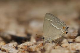 Thécla du chêne (Neozephyrus quercus) [copyright Barbier Yvan]