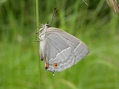 Neozephyrus quercus_imbaud2.JPG