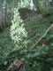 Ornithogalum pyrenaicum