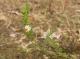 Ornithopus perpusillus [copyright]
