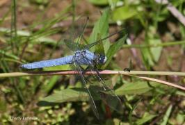 Orthétrum brun (Orthetrum brunneum) Mâle. [copyright Farinelle Charly]