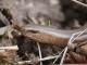 Orvet fragile (Anguis fragilis) [CC by Smits Quentin]