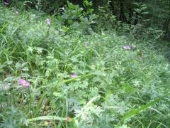 Ourlet à Geranium sanguineum