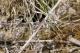 """Leste brun (Sympecma fusca) Mâle """"mimétique"""". [copyright Mariage Thibault]"""