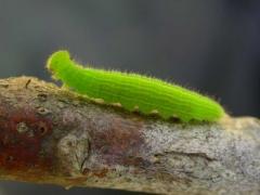 chenille de Fadet commun (Coenonympha pamphilus) [copyright Baugnée Jean-Yves]