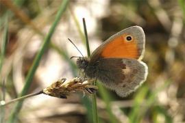 Fadet commun (Coenonympha pamphilus) [copyright Delacre Jean]